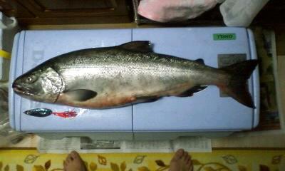 八雲沖鼻曲がり鮭ツアーにて  85cm、7kg